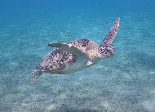 Day Trip Snorkeling and Swimming with Turtles and Dugongs from El Gouna